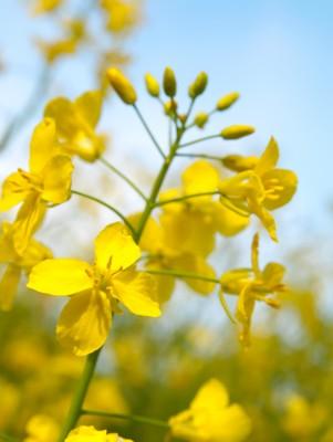 Unia Europejska – plony oleistych oraz zbóż w br.