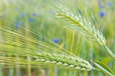 Komentarz do zbiorów zbóż w 2013 r.