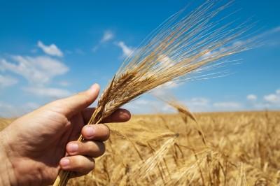 Produkcja pszenicy we Francji
