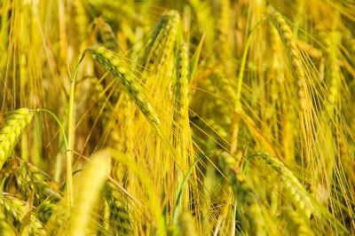 Większe zbiory zbóż na Dolnym Śląsku