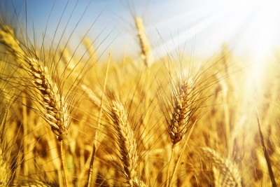Mocne spadki cen zbóż