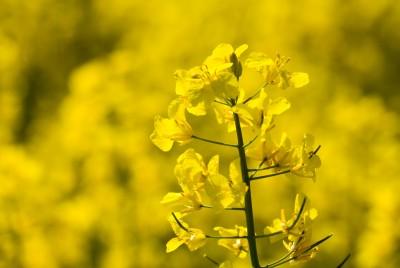Redukcja biopaliw w paliwach transportowych ograniczy uprawy rzepaku o połowę