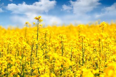Wzrośnie znaczenie Ukrainy jako dostawcy oleistych i produktów na rynki światowe