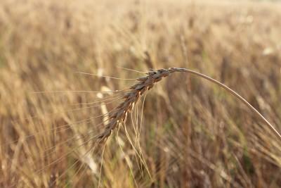 Europejska pszenica pozostaje droga – 5.04.2013
