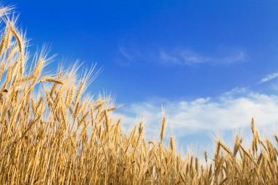 Coraz niższe ceny zbóż