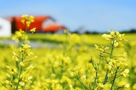 Mniejsze zbiory zbóż i rzepaku w Niemczech