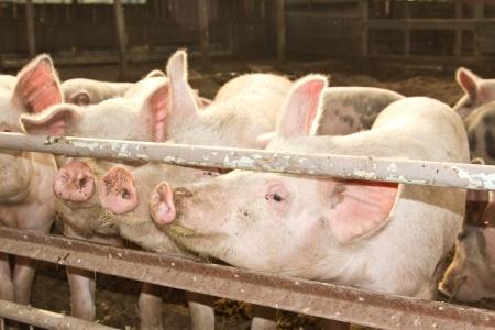 Upadek cen świń