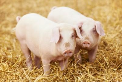 Świnie idą na rekord