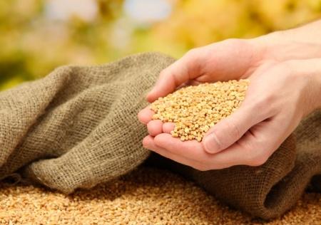 Zboża – pszenica w odwrocie