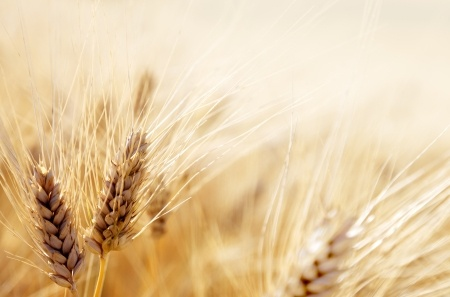 Ceny zbóż na koniec roku