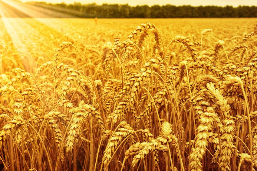 Wielkie koszenie zbóż