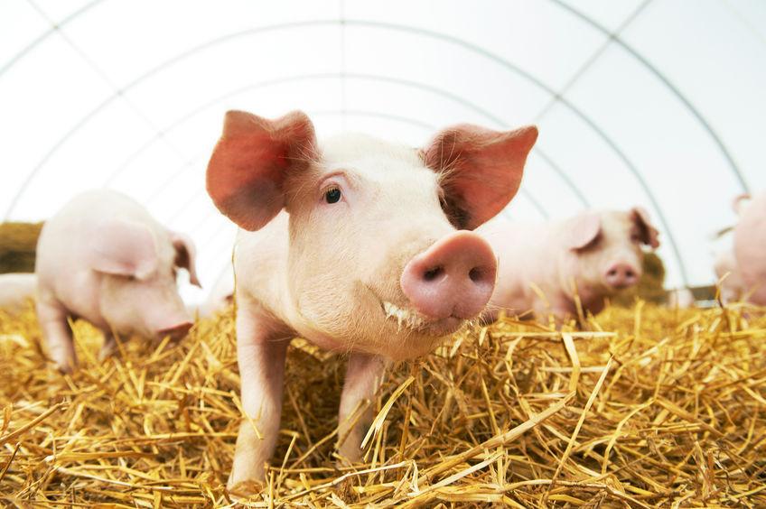 Świnie na poziomie
