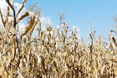 Zniszczona kukurydza